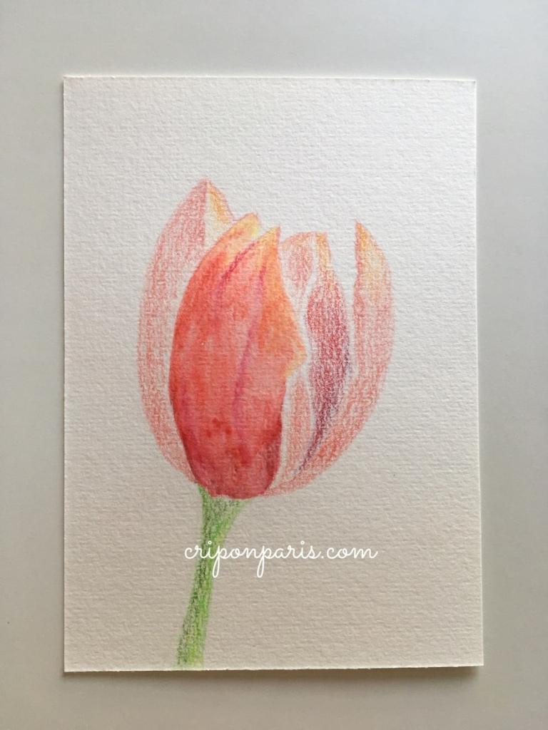 水彩色鉛筆で描いたチューリップ